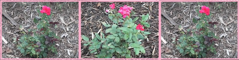 Great Garden Plant Roses