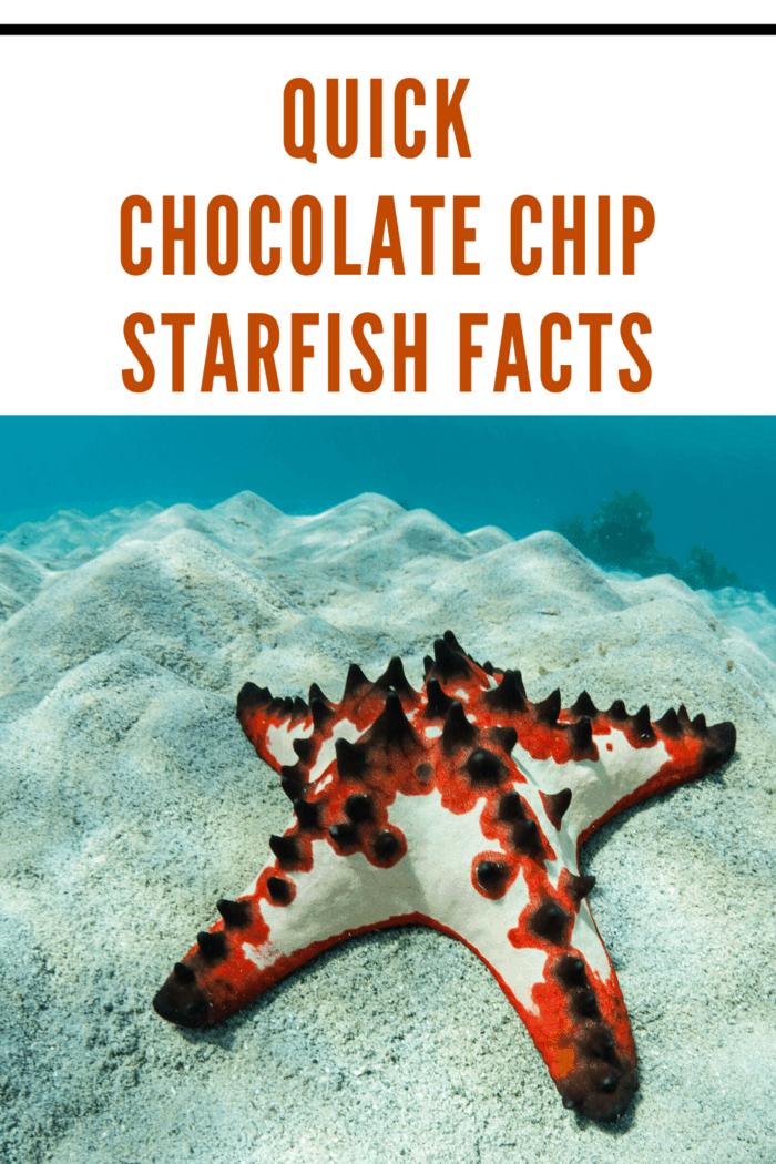 light chocolate chip starfish with bright orange markings