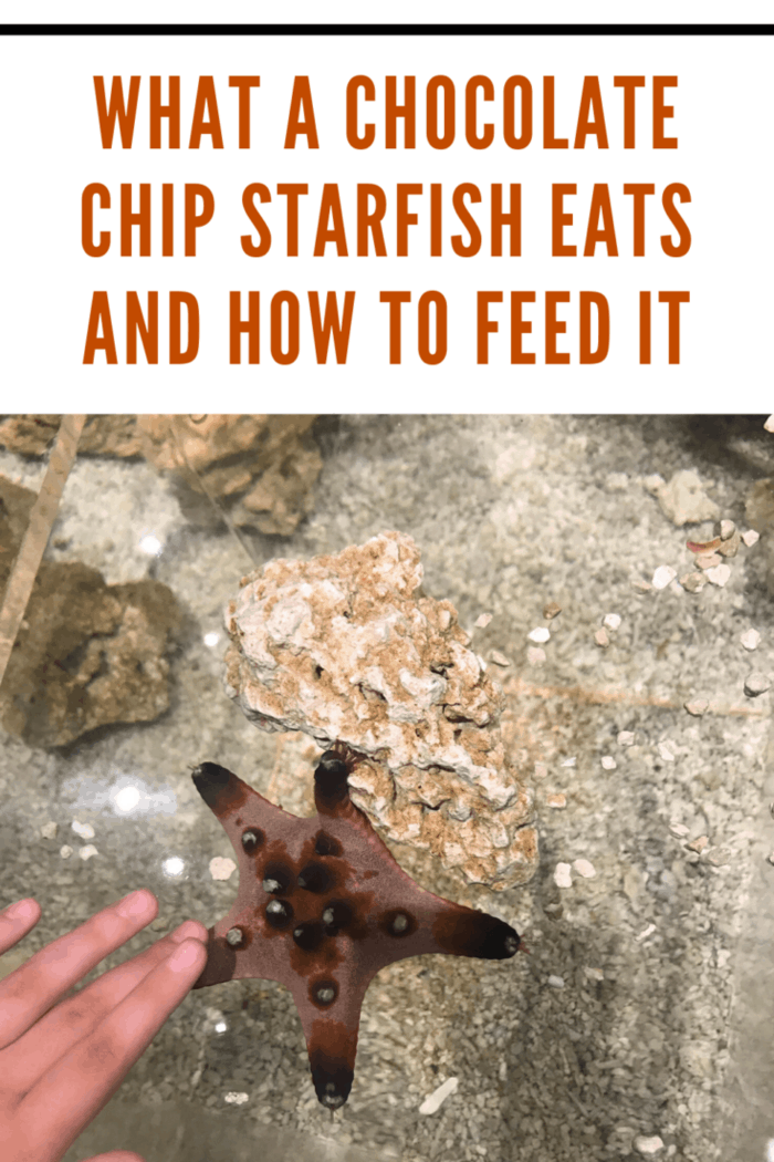 darker brown chocolate chip starfish being petted in tank