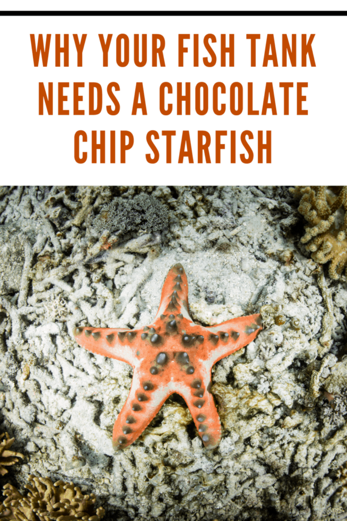 A chocolate chip starfish with light orange marking on ocean life