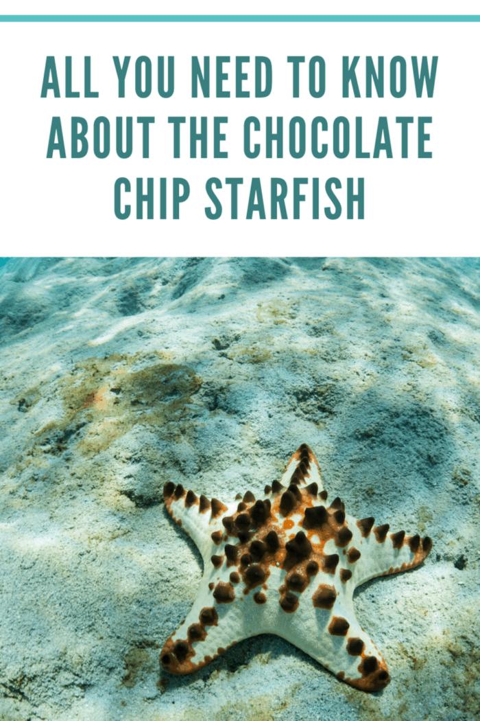 light chocolate chip starfish in ocean