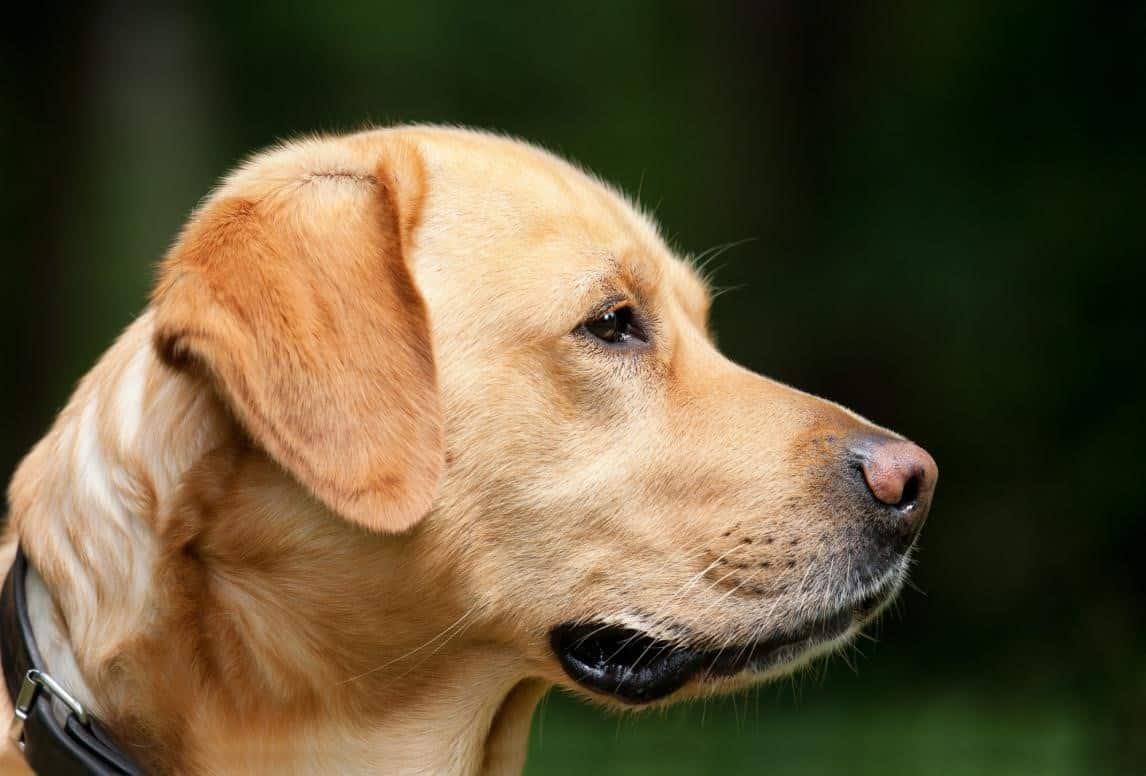 golden labrador makes the best pet