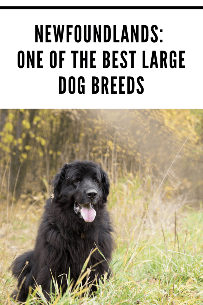black Newfoundland dog panting while sittingare the gentle giants of the dog world. Originally bred to be rescue dogs, steadfastness, love, and loyalty are hardwired into their DNA.
