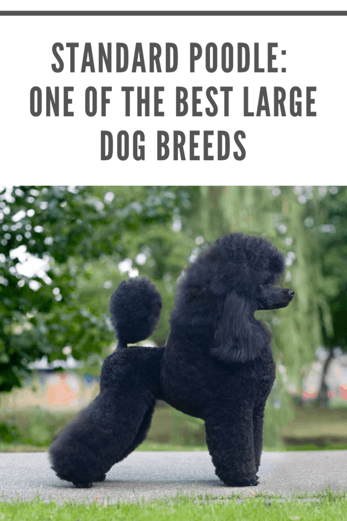 black standard poodle in perfect poise