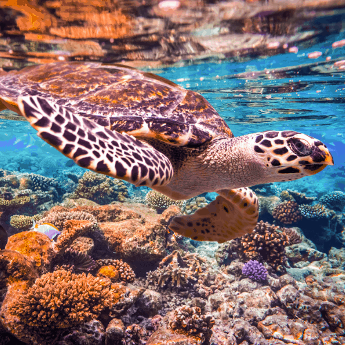 Hawksbill Turtle - Eretmochelys imbricata floats under water. Maldives - Ocean coral reef