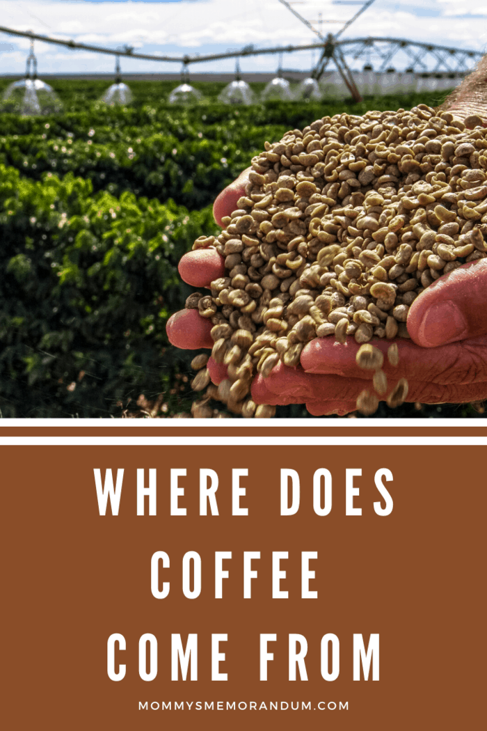 Coffee grows on a shrub or a tree and resembles a cherry with the beans inside which are then roasted and sold in stores.