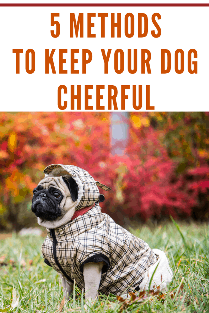 Believe it or not, dogs look adorable when they are dressed in tiny clothes and collars, and what better option can you get than a nice fitted jacket.