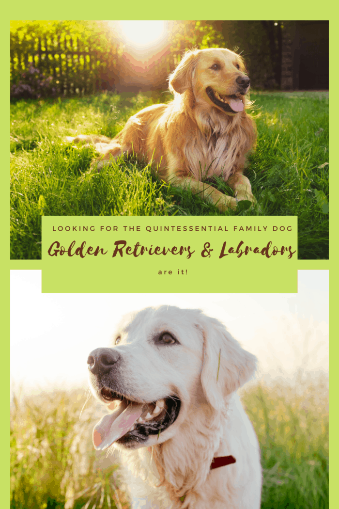 If there were a quintessential family dog, the golden retriever would be it. It goes right along with that nuclear family, 2.5 (they're the .5) kids, and white picket fence.