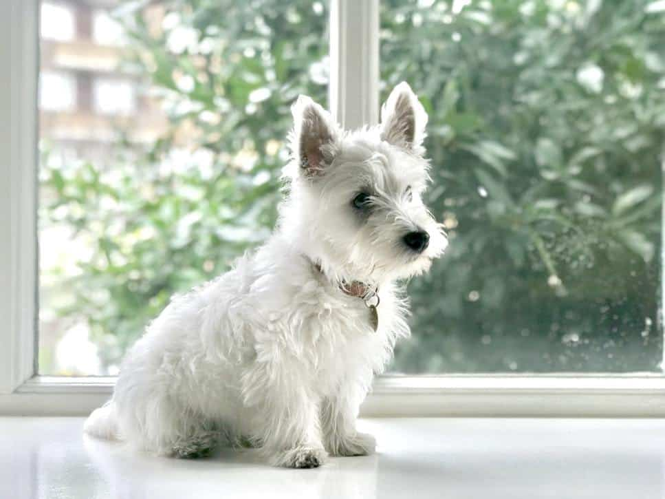 One of the most popular breeds out there is the Scottish Westie; this breed is not only the epitome of fun and cuteness, but it is also intelligent.