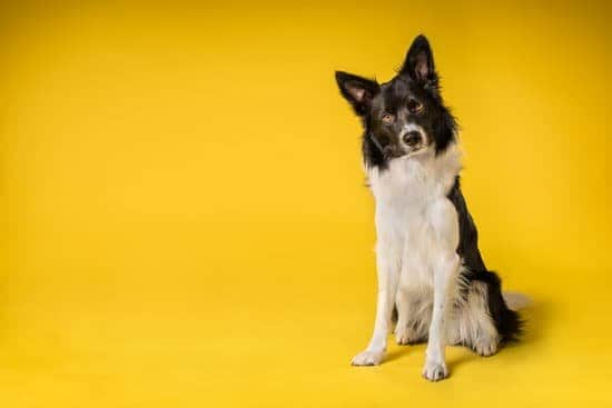 black and white collie dog looking at camera yellow background