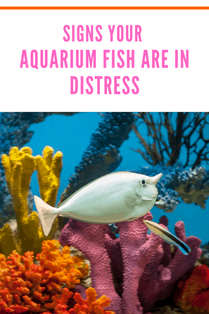 For maintaining the health of your aquarium fish, you must learn how to identify any signs of distress in the fish.