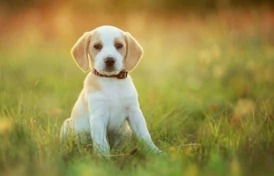 white and beige puppy