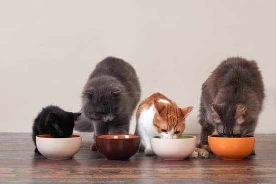 black kitten, large gray cat, small white and brown cat and large maine cook all eating cat food from bowls