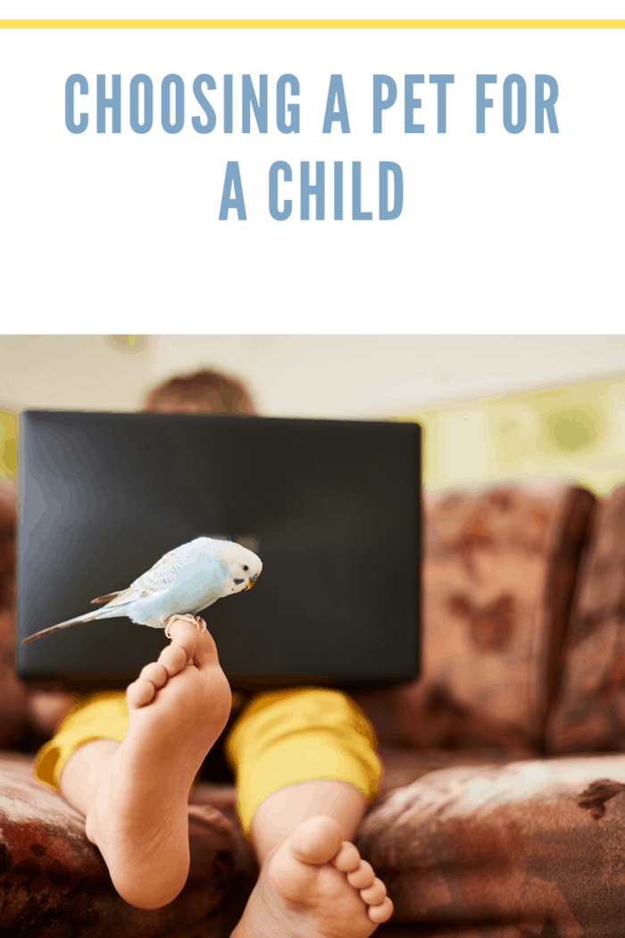 A blue budgie is sitting on the leg of a teenager who studies at home or plays on a laptop during quarantine of a coronavirus infection @kutanya / Freepik