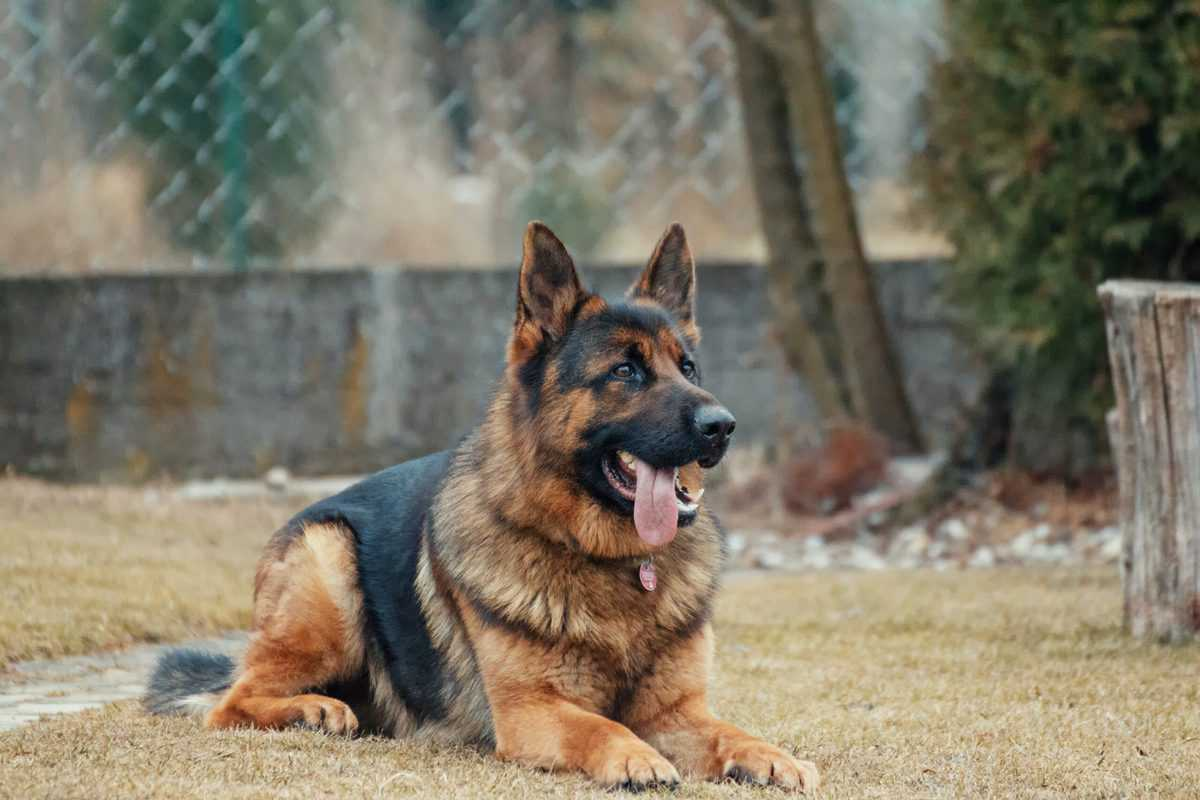 german shepard sitting in yard recovering from a sinus infection in dogs