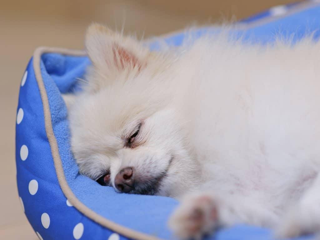 Pomeranian dog sleep on bed