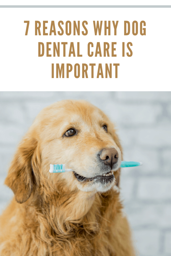 A purebred golden retriever dog is showing the importance of animal dental health. In this frame the dog is holding a toothbrush in his mouth.