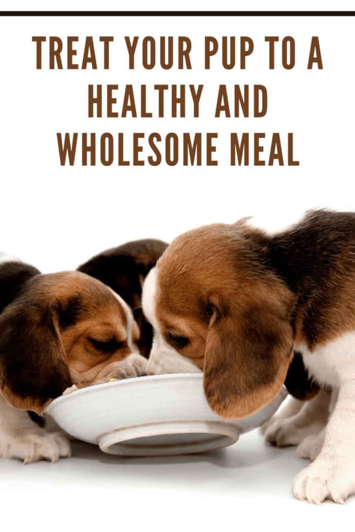 Beagle puppys eating.