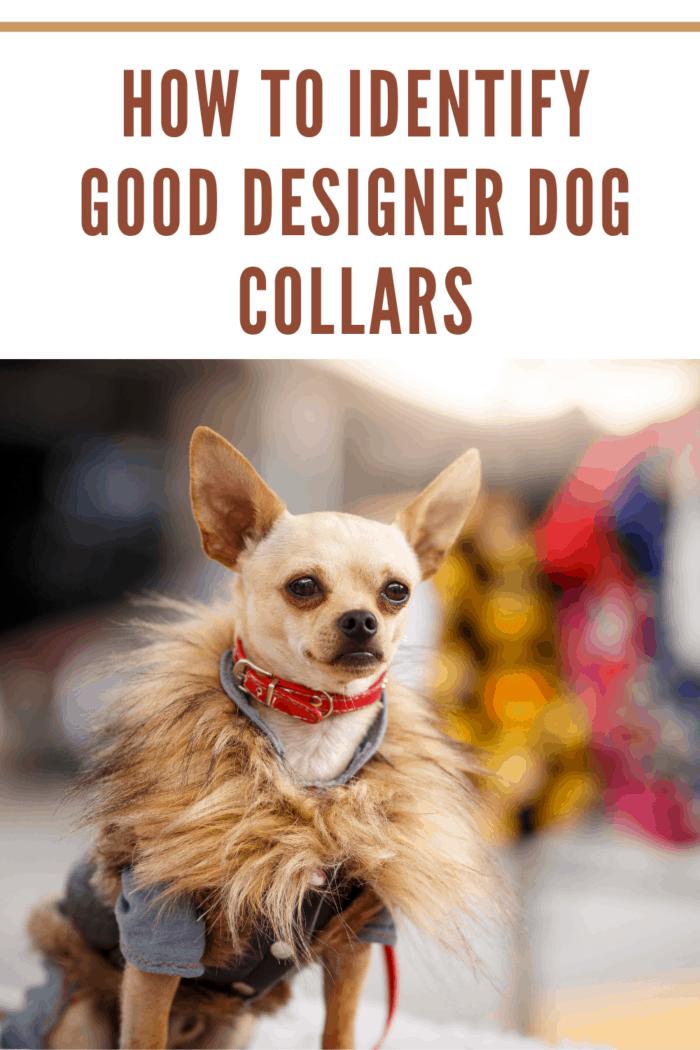 Stylish chihuahua dog wearing fancy clothes.