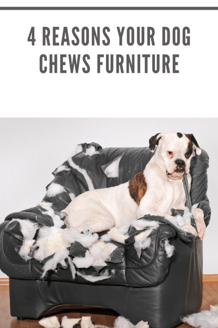 Boxer dog destroyed a leather armchair.
