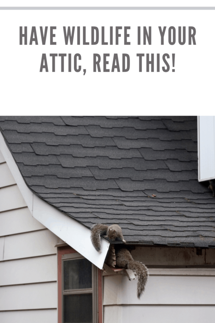 Family of squirrels nesting in house roof attic.