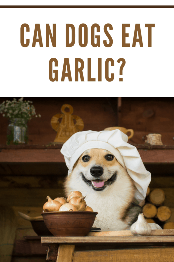 Dog Welsh Corgi prepares mushrooms for dinner with onion and garlic.