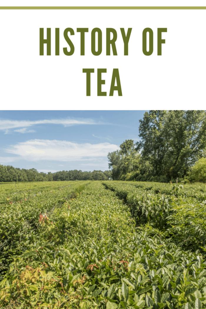 Tea plantation in South Carolina