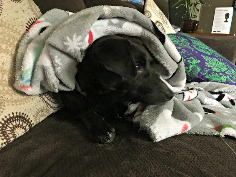 Jeb under blanket