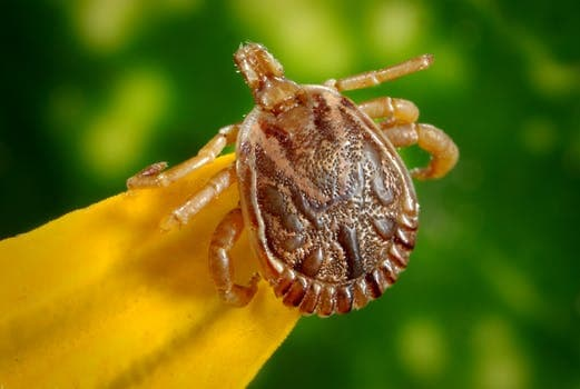 cayenne-tick-tick-male-dorsal-view-45850