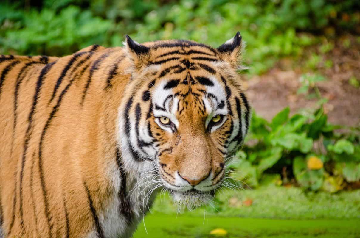 bengal tiger, india safari