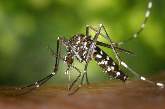 tiger-mosquito-mosquito-asian-tigermucke-sting-86722